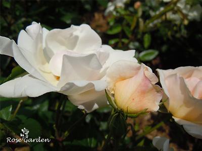 バラ(薔薇):エルフ