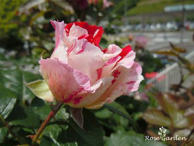 バラ(薔薇):センチメンタル