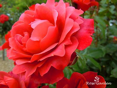 バラ(薔薇):ホットココア