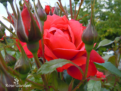 バラ(薔薇) : ホットココア