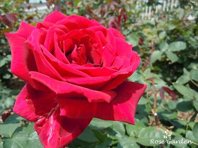 バラ(薔薇):パパ メイアン