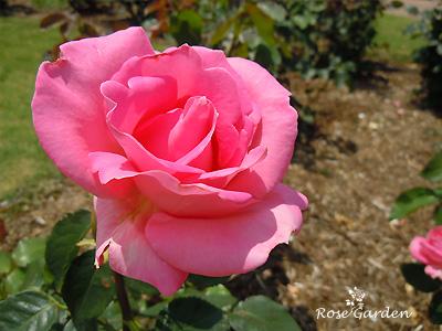 バラ(薔薇):プリンセス マーガレット
