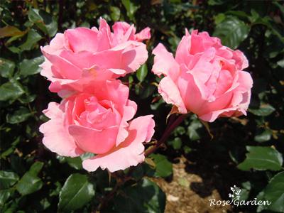 バラ(薔薇):クイーン エリザベス
