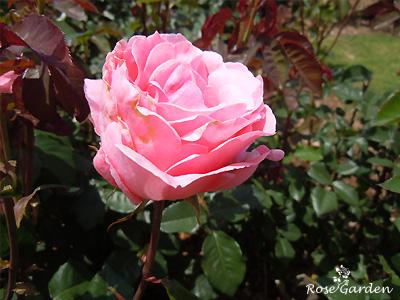 バラ(薔薇) : クイーン・エリザベス