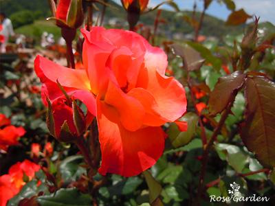 バラ(薔薇) : プリンセス ミチコ