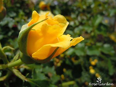 バラ(薔薇) : ミッチー'81