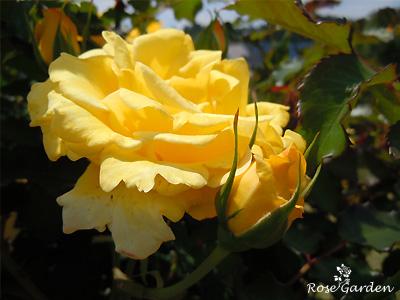 バラ(薔薇):ミッチー'81