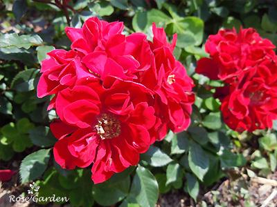 バラ(薔薇):スカーレット メイアンディナ