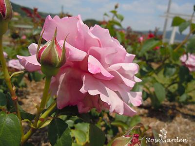 バラ(薔薇):シャルル ド ゴール