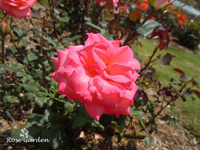 バラ(薔薇):プリンセス サヤコ