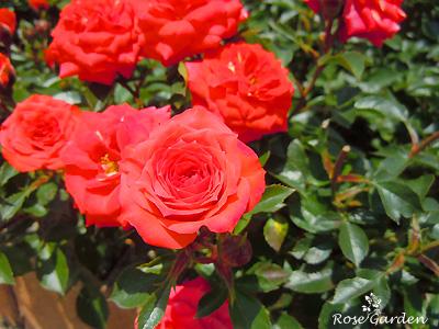 バラ(薔薇):オレンジ ジュエル