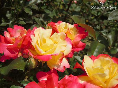 バラ(薔薇):チャールストン