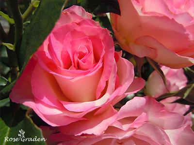 バラ(薔薇):ストロベリー アイス
