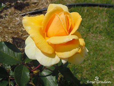 バラ(薔薇):クッパーケニギン