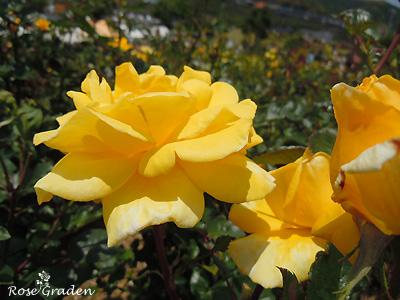 バラ(薔薇):ソリドール