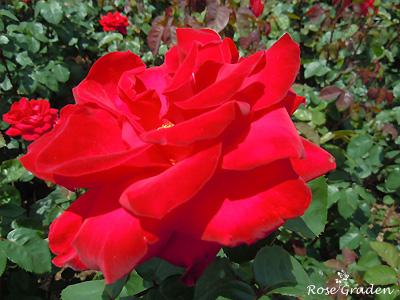 バラ(薔薇):アントニア リッジ