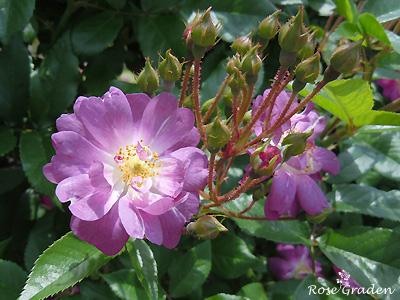 バラ(薔薇):バイオレット