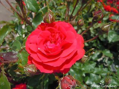 バラ(薔薇):ポンデローザ