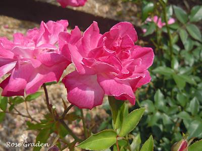 バラ(薔薇):ロサ キネンシス