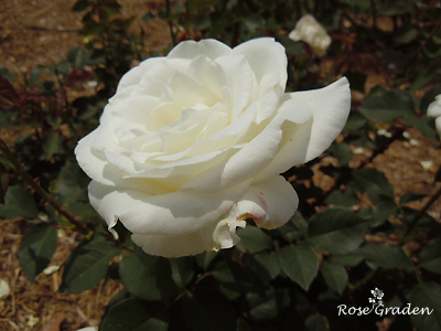 バラ(薔薇):ユキサン