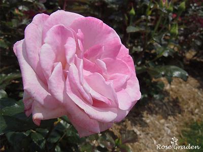 バラ(薔薇):パステル モーブ