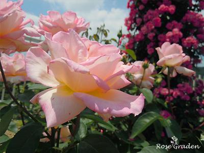 バラ(薔薇):コンフィダンス