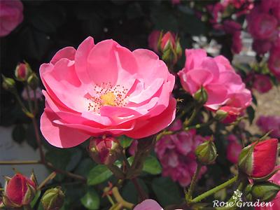 バラ(薔薇):アンジェラ