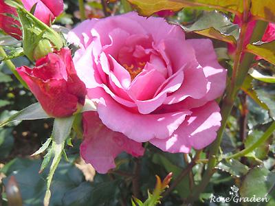 バラ(薔薇):ショッキング ブルー