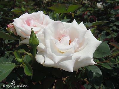 バラ(薔薇):花嫁