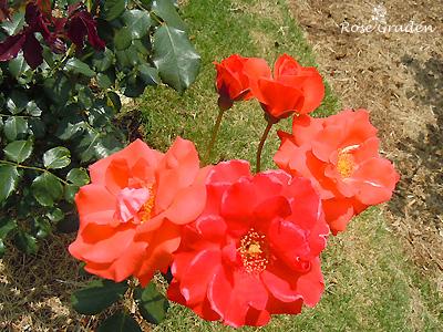 バラ(薔薇):オレンジ シルク