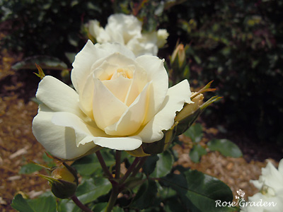 バラ(薔薇):スノー ライン