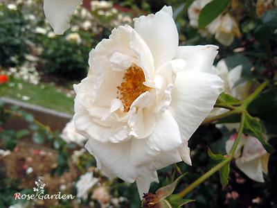 バラ(薔薇):ホワイト ニュー ドーン