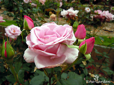 バラ(薔薇):ブルー ライト