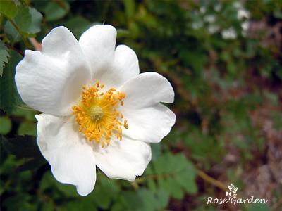 バラ(薔薇):ローザ フェドゥシェンコアナ