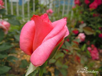 バラ(薔薇):桃山