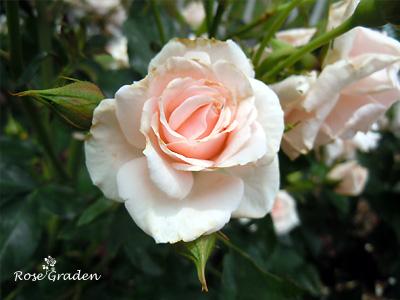 バラ(薔薇):ラスチゲ