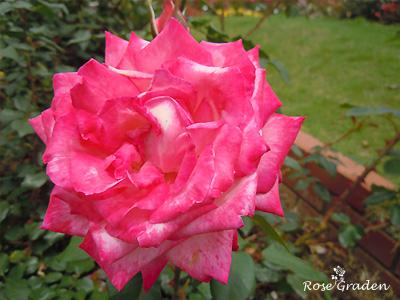 バラ(薔薇):聖火