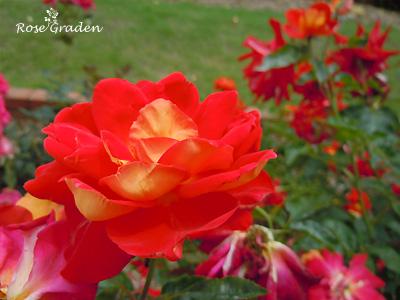 バラ(薔薇):かがやき