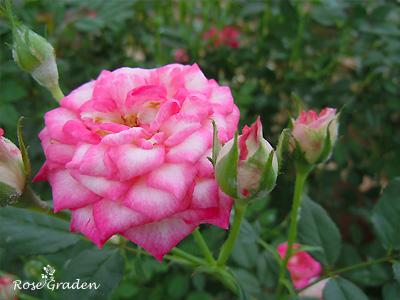 バラ(薔薇):シャンビラン