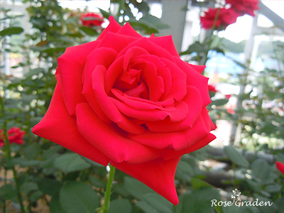 バラ(薔薇):カーディナル