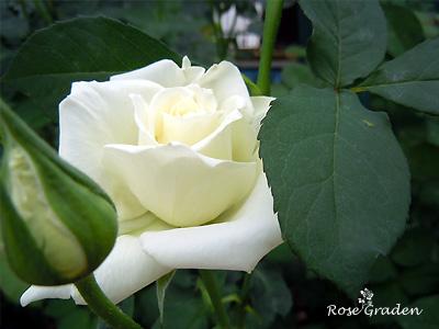 バラ(薔薇):ティネケ