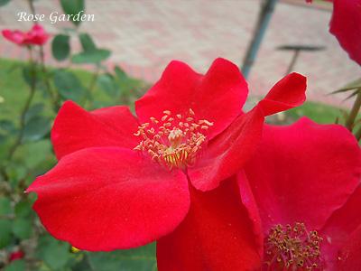 バラ(薔薇):ベスビアス
