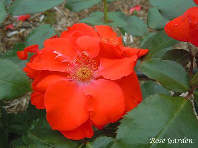 バラ(薔薇):オレンジ バニー