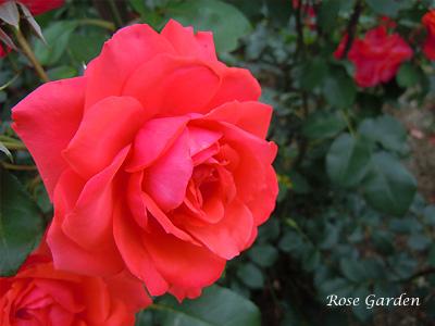 バラ(薔薇):フィデリオ