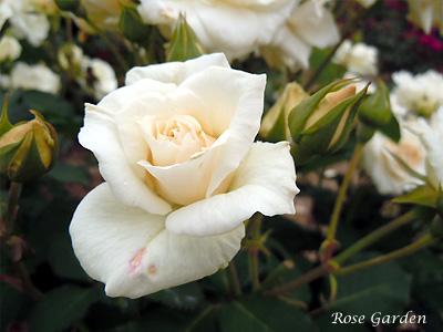 バラ(薔薇):銀世界