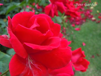 バラ(薔薇):フレンシャム