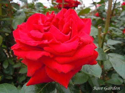 バラ(薔薇):イングリッド バーグマン