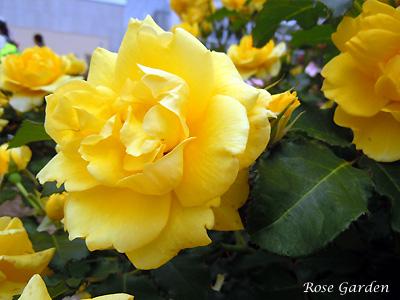 バラ(薔薇):ゴールド バニー