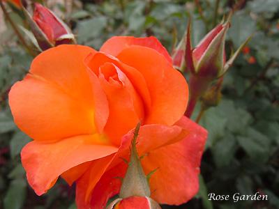 バラ(薔薇):プリンセス ミチコ