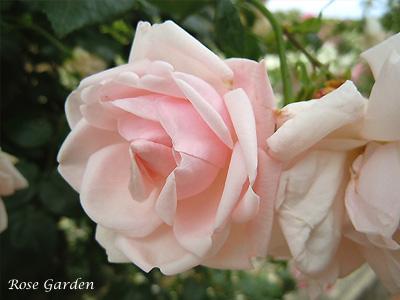 バラ(薔薇):ニュー ドーン